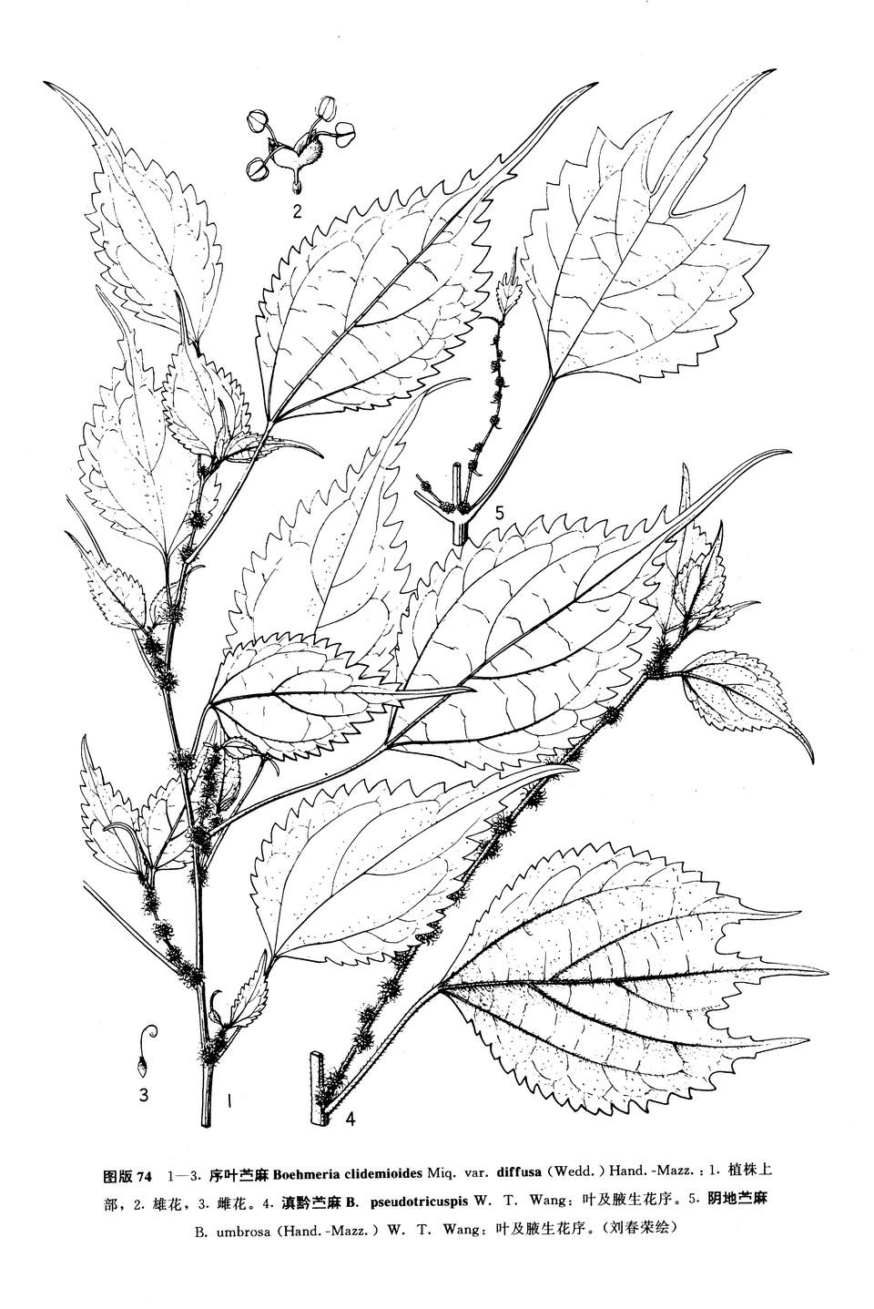 茎9�biˮx��_多年生草本;茎高45-85厘米,基部多少木质,通常不分枝,与叶柄及花序