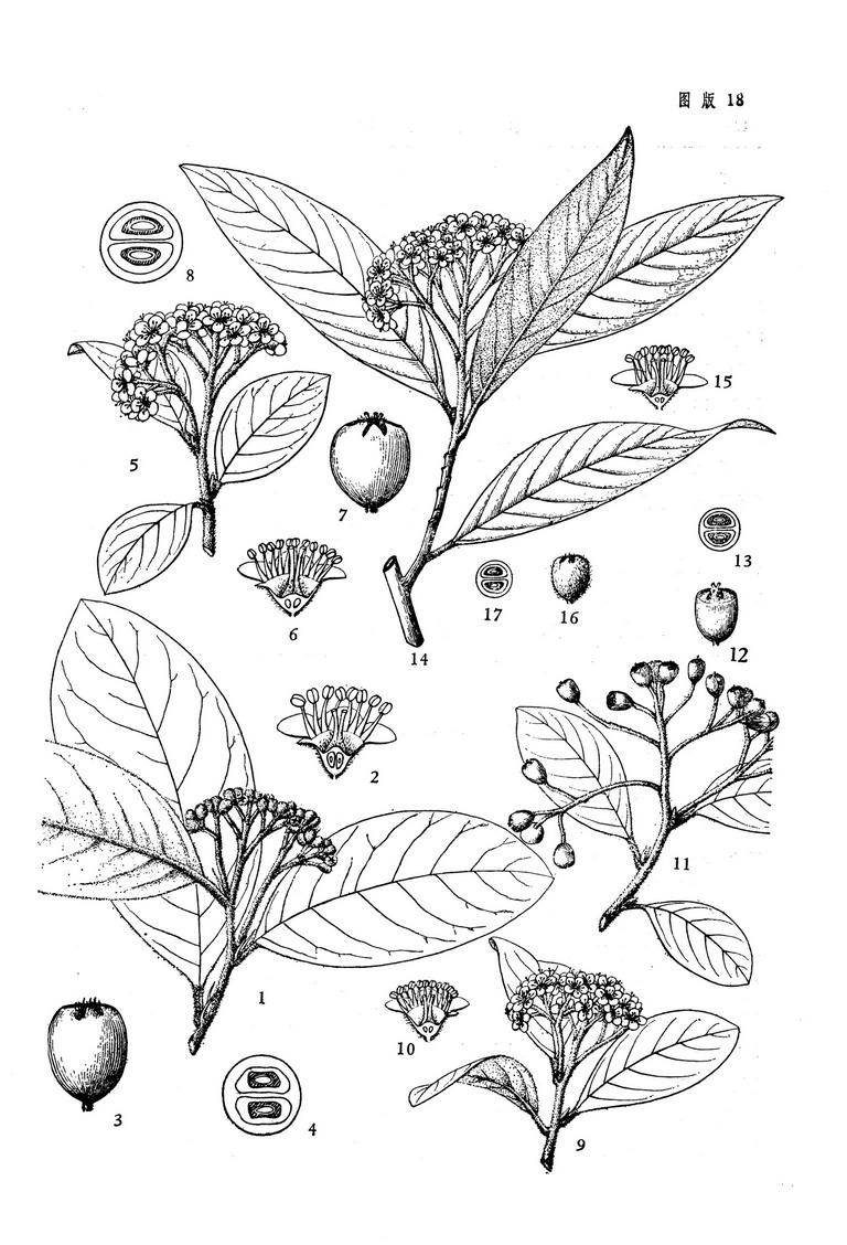 蔷薇花纹身素描